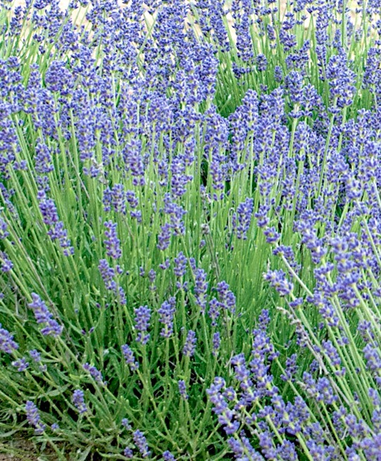 Lessons from the Lavender Bush